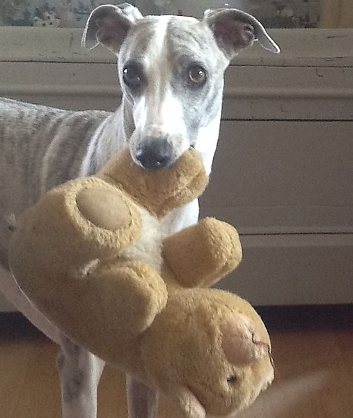 Winnie the Whippet