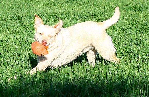 Milly the labrador