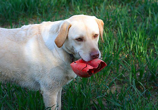 Labrador Retriever Millie