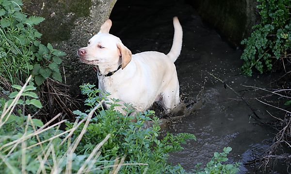 You can't keep a labrador out the water