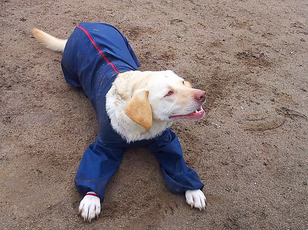 Labrador Milly - wearing her protective suit