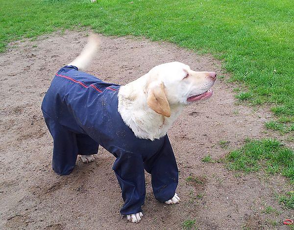 Labrador Milly