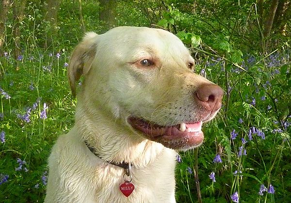Labrador Mily in the Bluebells