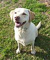 photo thumbnail Labrador Loves treats