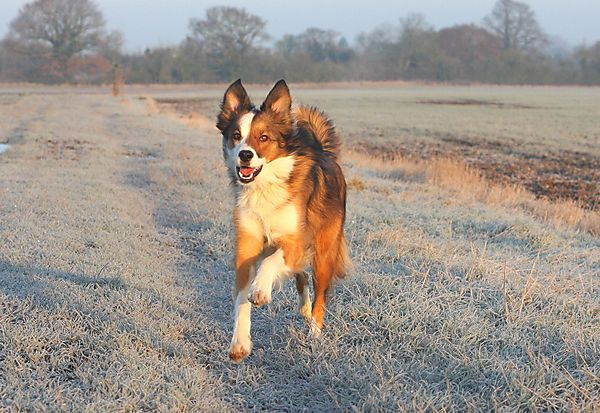 Woody the Collie on a frosty morning walk