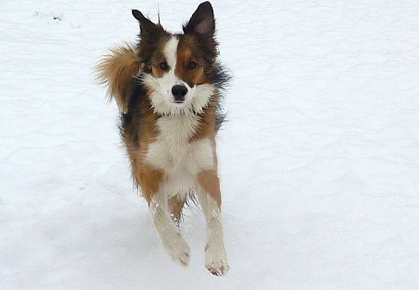 Collie in the Snow