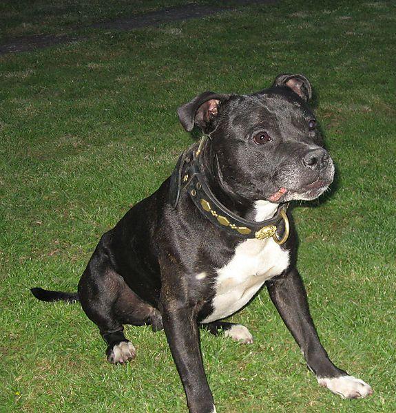 Staffordshire Bull Terrier, Knasher