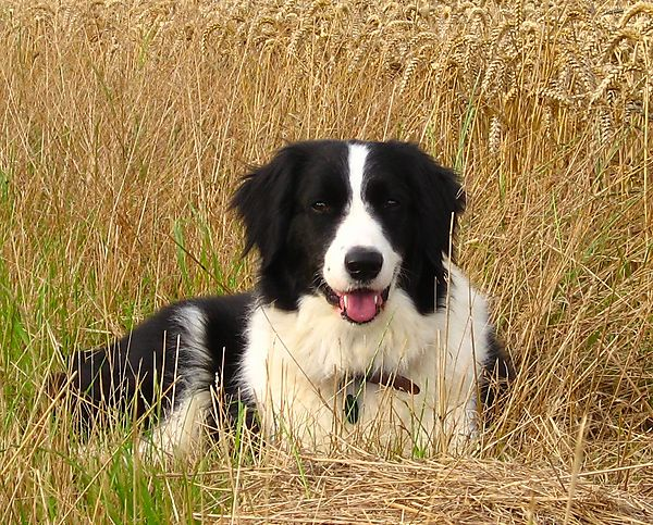 Timmy, Australian Sheep Dog
