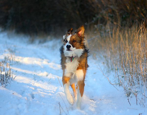 Woody the Collie running in the Snow