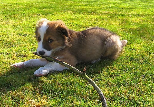 Puppy Woody the Welsh Collie