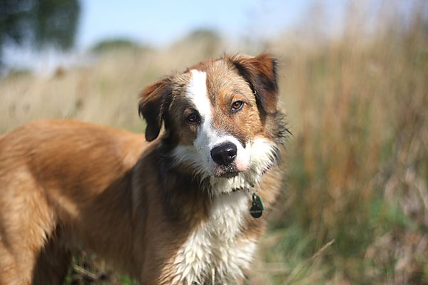 Woody - tri-coloured border collie