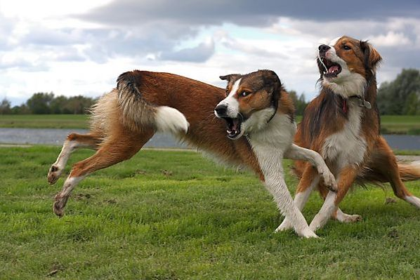 Collies Playing.... or fighting ?