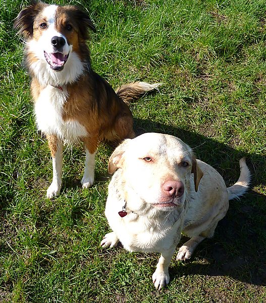 Woody the collie and Millie the labrador
