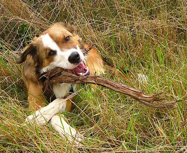 Woody the collie loves sticks