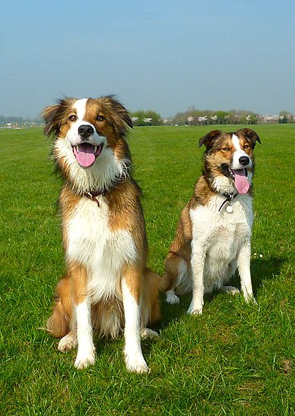 Collie Pals Woody & Merlin