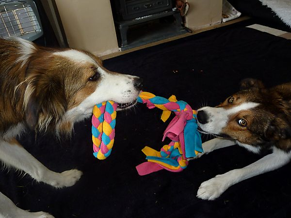 Collies playing tug