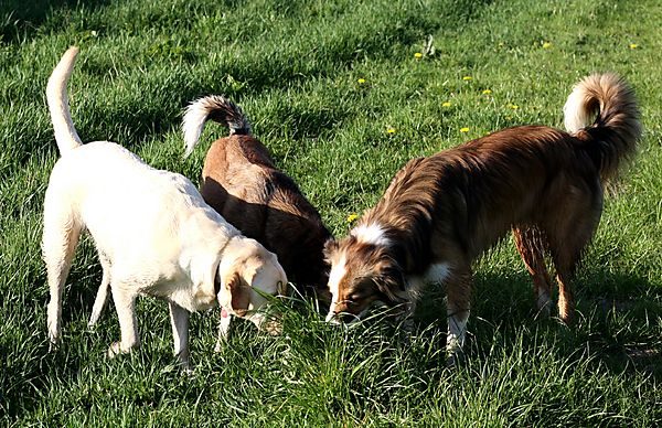 Labrador and Collies