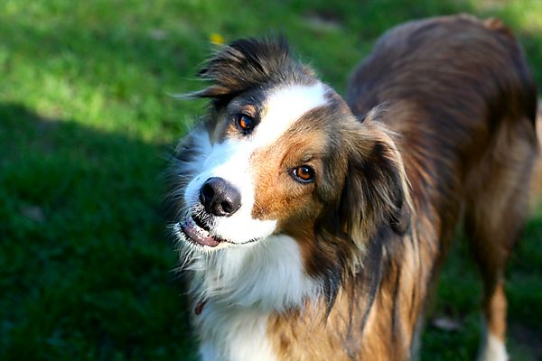 Woody - the collie