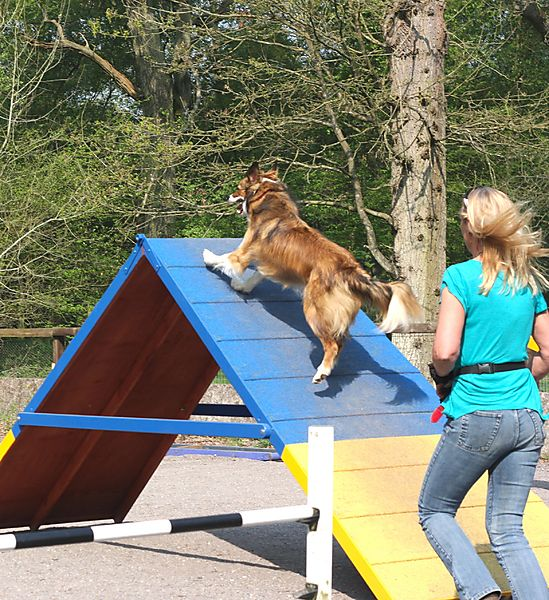 Collie on A-Frame at Agility