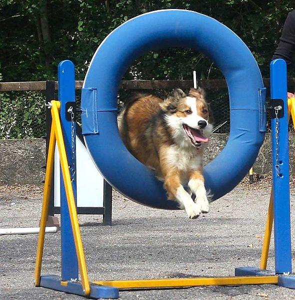 Woody through the Agility Tyre Jump