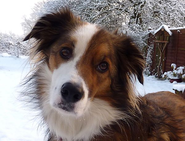 Collie Portrait in the snow