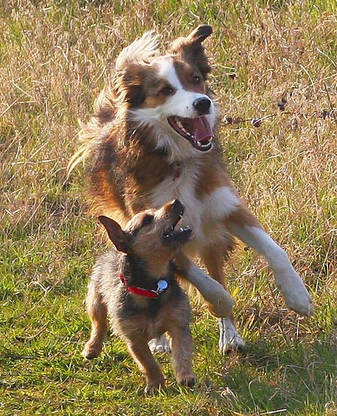 Little and Large having fun, Collie and Jack Russell
