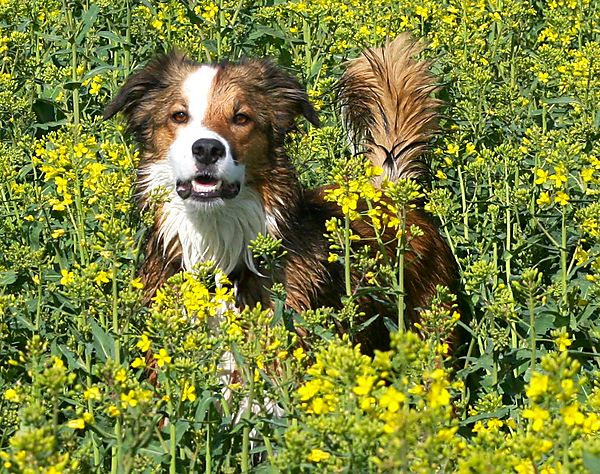 Dog in crops