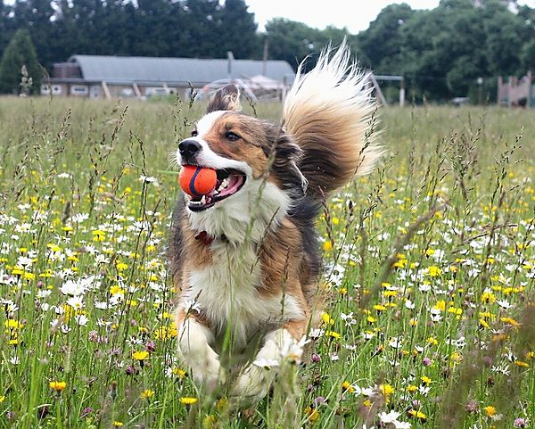 Collie Playing ball in wild flower field