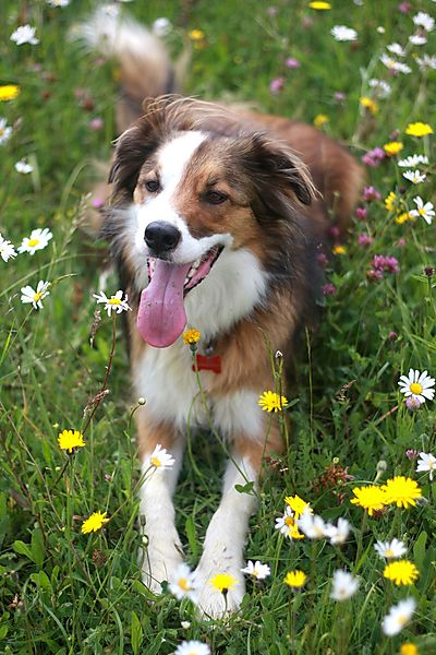 Collie Woody posing amongst the wild flowers