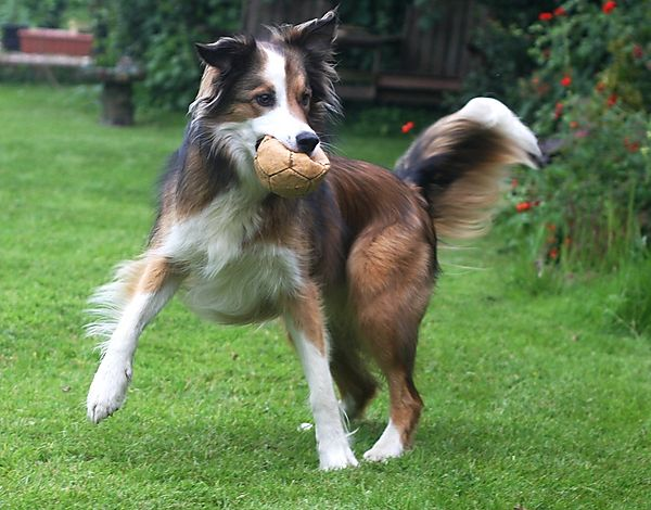 Dancing Woody the Collie
