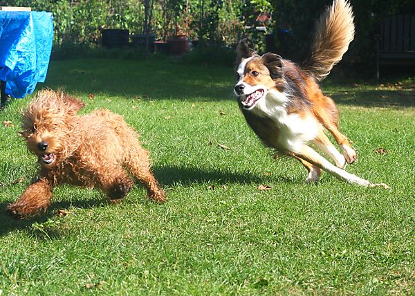 Dogs chase