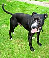 Boyzee the Staffie