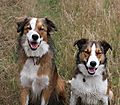 Border Collie Pals, Woody and Merlin