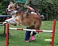 Woody the Collie doing Agility