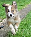 Woody the border collie running