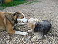 Norfolk Terrier and Welsh Border Collie