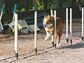 Weave Poles at Agility