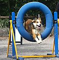 Woody through the Agility Tyre Jump