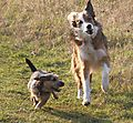 Jack Russell and Border Collie have fun together