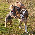 Woody the Collie and Punch the Jack Russell