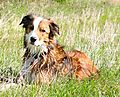 photo thumbnail Woody my Welsh Collie