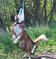 photo thumbnail Collie  Swinging