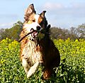 photo thumbnail Woody the Lively Collie