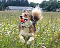 photo thumbnail Collie Playing ball in wild flower field