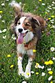 photo thumbnail Collie Woody posing amongst the wild flowers