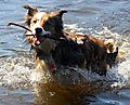 Woody the Welsh Border Collie Swimming