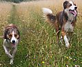 photo thumbnail Collies Woody & Merlin