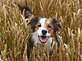 Border Collie Woody - In the crops