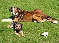 photo thumbnail Collie and Jack Russell