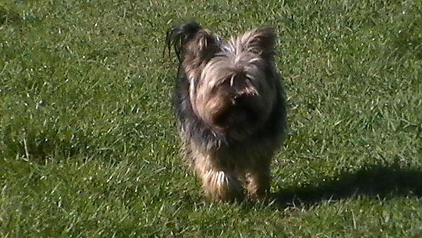 Yorkshire Terrier Monty